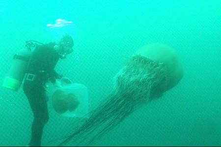 大型クラゲの水中映像