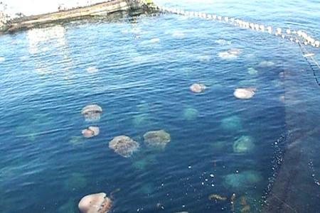 定置網にかかったクラゲ群