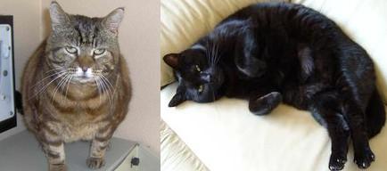 RSPCAに掲載されているメタボな猫二例
