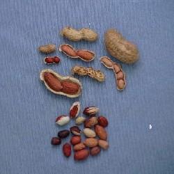 落花生試験地で開発されている数々の落花生イメージ