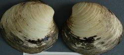 400歳の二枚貝