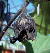 高温での花粉不稔によるナスの結実不良