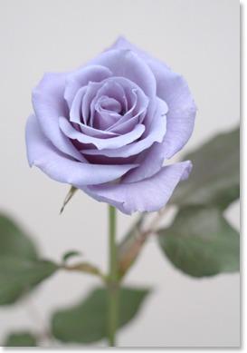 サントリーらが開発、2009年から販売を開始する「青いバラ」