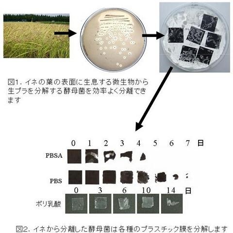 稲の葉の酵母菌が生プラを効率よく分解していく