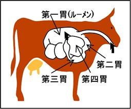 ルーメンなど牛の体内の胃の位置イメージ