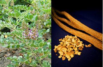 カンゾウ(甘草)植物(左)と、生薬として使われる甘草根・それをきざんだもの(右)