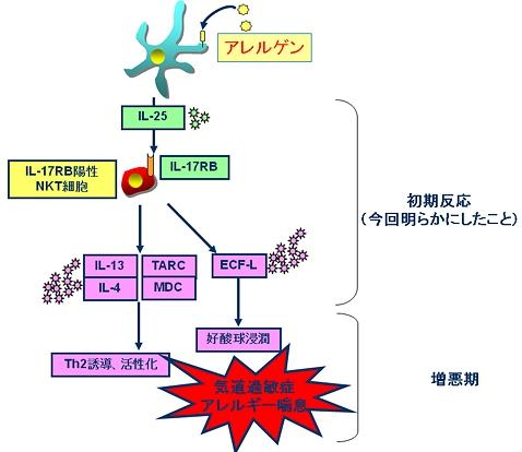 アレルゲンにさらされた細胞はIL-25を産生する。これに反応してIL-17RB陽性ナチュラルキラーT細胞がIL-13、IL-4といったTh2サイトカインやTARC、MDCといったTh2サイトカイン、ECF-Lなどを産生する。これが引き金となって、Th2細胞の誘導・活性化や好酸球浸潤が起こり、結果としてアレルギー性ぜんそくに至る。