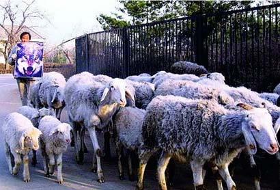 オオカミのポスターを「牧羊犬」代わりに使うDu Hebing氏