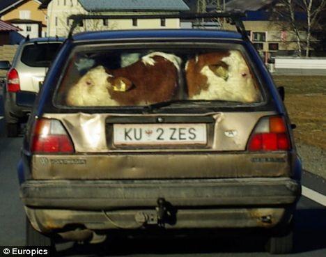 フォルクスワーゲン社のGolfシリーズの車両後部に押し詰められた、二頭の子牛。