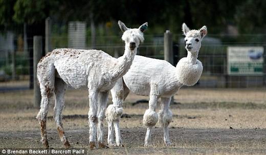 普通のアルパカと比較。別の生き物のようだ(Mail Onlineより)