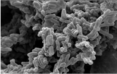 植物性乳酸菌「K-2」の電子顕微鏡写真
