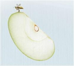 うす-く切れたリンゴイメージ