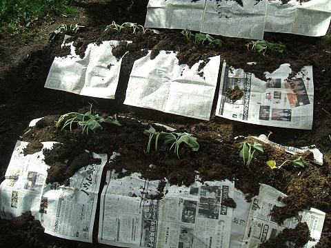 ↑ 新聞紙をマルチシート代わりとして使用。