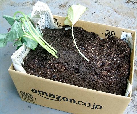 ↑ 土を加えて苗を植え、水をかける。
