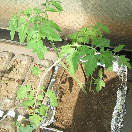 ↑ 植えたばかりのプチトマトの苗。