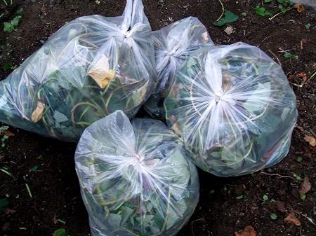 ↑ ゴミ袋にぎっしり詰まったさつま芋のツタ