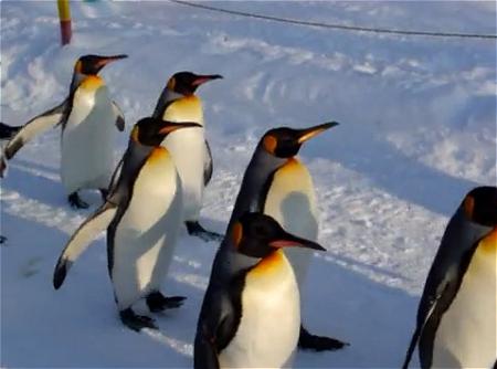 ↑ 旭山動物園の名物の一つ、ペンギンたちの行進。